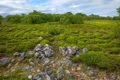 Stones and mosses on the Big Zayatsky Island. Stone labyrinths on the Bolshoy Zayatsky Island. Solovetsky archipelago, White Sea, Russia stock image