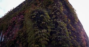 House covered in ivy. Stones overgrown with ivy. House covered in ivy stock video footage