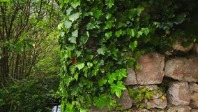 Stones overgrown with ivy. Texture of wild plants stock video footage