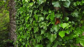 Stones overgrown with ivy. Texture of wild plants. In the forest stock footage
