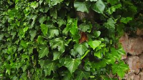 Stones overgrown with ivy. Texture of wild plants. In the forest stock video footage