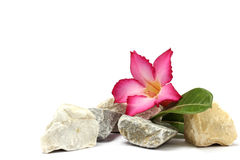 isolated white background.Stones and pink flower Stock Photography