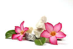 Isolate white background.Stones and pink flower Royalty Free Stock Photos