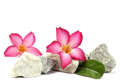 Isolate white background.Stones and pink flower Stock Photography