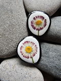 Stones with pressed flowers Royalty Free Stock Photos