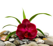 Stones and red orchid Stock Images