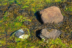 Stones with seaweed Royalty Free Stock Photo