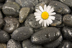 Stones and white daisy flower. Wet black stones and white daisy flower Royalty Free Stock Image