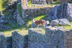 The Ancient Inca Ruins in Machu Picchu, Peru stock photo