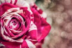 Stonowana fotografia wzrastał dla valentinelub birtday dnia, tła kwiat miłość fotografia, rocznik Zdjęcie Stock