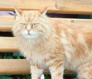 Stonowanego portreta nieociosany czerwony kot Obraz Royalty Free