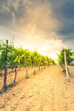 Stonowany wizerunek winnicy i gronowy winograd Fotografia Royalty Free