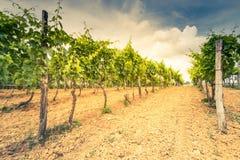 Stonowany wizerunek winnicy i gronowy winograd Fotografia Stock