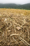 Stony. A stony stubble-field with a rye ear on the ground royalty free stock photo