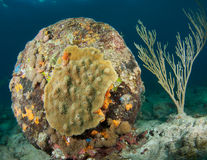 Stony Coral Royalty Free Stock Images