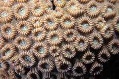 Stony coral. Close up of stony coral Royalty Free Stock Images