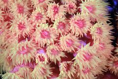 Stony coral. Close up of stony coral with open polyps royalty free stock image