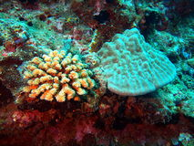Stony corals Royalty Free Stock Photo