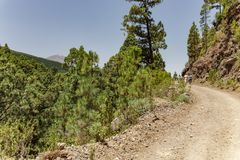 Stony path at upland surrounded by pine trees at sunny day. Clear blue sky and some clouds above the forest. Rocky tracking road. In dry mountain area with royalty free stock photos