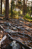 Stony soil with thick roots at the Finnish forest. Stock Photo