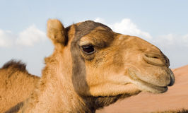 The stony stare of the arabian camel, Dubai Stock Photography