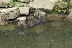 Otter in waterside ambiance Stock Image