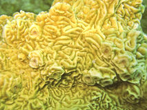 Stony yellow coral. Underwater closeup of stony yellow coral Royalty Free Stock Images