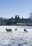 Stonyhurst-College mit den Schafen, die im Schnee weiden lassen Stockfoto