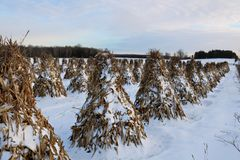 Stooked corn stalks lined up in the field on a peaceful evening in the snow stock photo