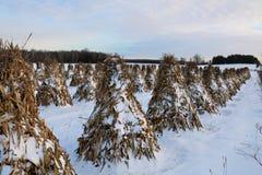 Stooked-Maisstiele richteten auf dem Gebiet an einem ruhigen Abend im Schnee aus stockfoto