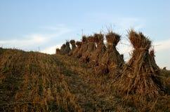 Stooks da palha na colheita Imagens de Stock
