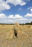 Stooks do trigo no campo de milho no tempo de colheita Imagens de Stock Royalty Free