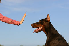Stop dog. Woman hand showing the stop simbol for dog Royalty Free Stock Photos