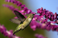 Stop For A Drink. Golden Green Hummingbird frozen in mid air drinking sage Stock Images