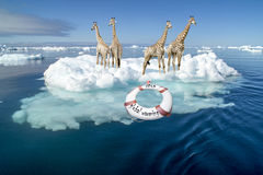 Stop Global Warming - Giraffes on Iceberg Royalty Free Stock Images