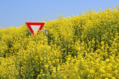 Stop GMO. Overflowing rape field in Brittany, immersing a stop sign Royalty Free Stock Photos