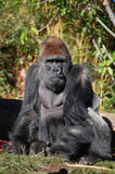 Stop looking at me. Adult Silverback overlooks the group Royalty Free Stock Image