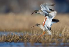 Stop motion of landing together couple male and female common redshanks in ranked water pond or small lake stock photography