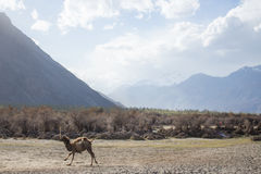 Stop motion of the running camel. Stop motion of the running camel on the desert with the dry trees behind, Nubra Valley, Leh Ladakh Royalty Free Stock Photos