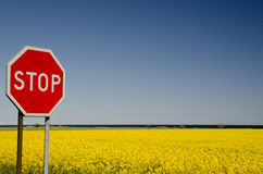 Stop at rape field. Stop on a sign at a rape field Stock Photo
