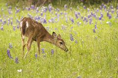 Stop and Smell The Bluebonnets. Stock Photography