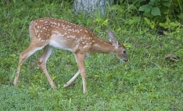 Stop and smell the flowers. Whitetail deer fawn that's stopped to smell a flower stock images