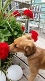 Stop and smell the flowers. Tan puppy smelling red geraniums Royalty Free Stock Photography