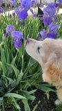 Stop and smell... Golden retriever smelling the irises Stock Image