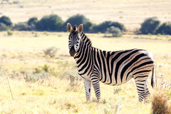 Stop staring at me - Burchell's Zebra Royalty Free Stock Images