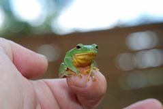 Stop Treefrog in my hands stock images