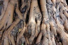 Stopa Antyczny Święty drzewo India Zdjęcie Stock