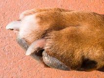 Stopa pies Zdjęcie Royalty Free