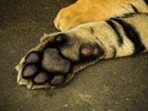 Stopa Syberyjski tygrys Zdjęcie Royalty Free