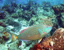 Stoplight parrotfish. In the carribean, an adult male stoplight parrotfish cruises along the reef; a number of blue chromis are seen in the background stock image